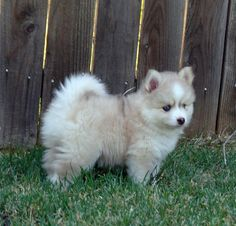 Past puppies Pomsky Puppies, Cute Puppies, Acacia, Past, Husky, Memes, Dogs, Animals, Cute Funny Animals