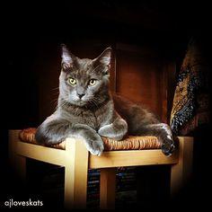 Frodo, the most #sophisticated #cat in the world  #russianblue #mancrushmonday #catlover ##ilovemycat #kitten  #meow #purrfect #cutecat #katze #gato #mygreatcat #adoptdontshop