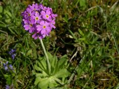 Primula farinosa - at Øland , Sweden