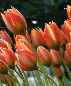 Tulipa orphanidea flava - Species Tulips - Tulips - Flower Bulb Index
