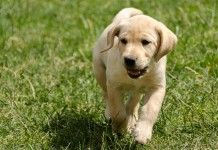 How To Train A Puppy Or Dog To Come
