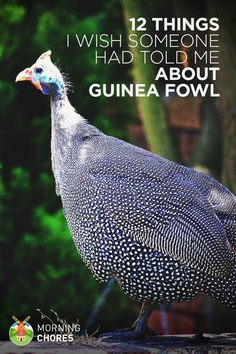 So, you're thinking of keeping guinea fowls? Here are 12 (important) things I can tell you about it so you won't make mistakes.