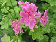 Laced Sugar Baby   Mina pelargoner   Pinterest   Sugar baby ... Baby Flower, Sugar Baby, Balcony Garden, Petunias, All The Colors, Exotic, Lace, Flowers, Plants
