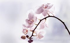 Download wallpapers orchids, light pink orchid, tropical flowers, orchid branch, pink flowers