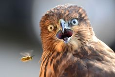 This is the incredible moment a hawk was photobombed by a WASP. Elena Murzyn, 22, captured the image of the Cooper's hawk looking startled as the yellow and black striped insect buzzed in front of him while on a visit to Seattle. The student, from Spokane, Washington, took her first photo at the age of 13 and couldn't believe her eyes when the hawk was photobombed. (Caters)