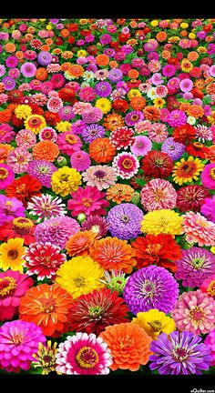 New Zinnia Border Elizabeth Studios 1 yard More Available BTY Beautiful Flowers Garden, Flowers Nature, Exotic Flowers, Pretty Flowers, Colorful Flowers, Flower Phone Wallpaper, Paper Plants, Beautiful Flowers Wallpapers, Large Flowers