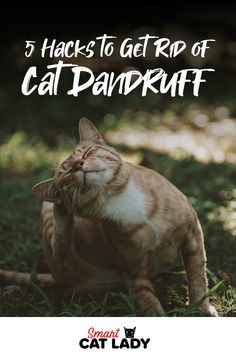 Keep your cat dandruff free with these five hacks on how to get rid of cat dandruff.    #cat #dandruff #remedy