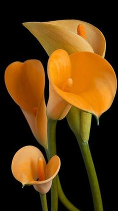 New Absolutely Free Calla Lily plant Ideas Calla lilies are definitely the essential bridal bouquet flower. This lamps of this African plant ar Exotic Flowers, Orange Flowers, Amazing Flowers, Beautiful Roses, Beautiful Flowers, Flowers Bunch, Flowers Uk, Tropical Flowers, Yellow Roses