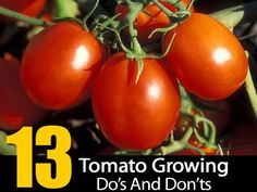 """Over time we all learn tips and tricks which help us grow our vegetables, color gardens, landscape and even the lawn. Little things like don't plant unless the soil is above X degrees. Tomatoes have their """"tricks"""" as well. Over at Gardening Jones they put together 13 tomato growing things you should do and others …"""