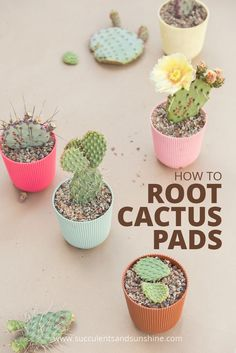See how to grow cactus from individual pads!