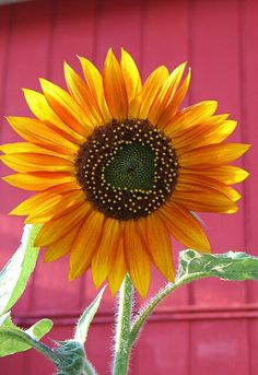Sunflower!!! Bebe'!!! Don't you just adore sunny sunflowers???