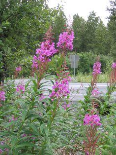 Fireweed Kenai, Alaska     summertime living