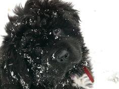 My Newfoundlander puppy Amber Newfoundland Dogs, Fur Babies, Amber, Nova, Puppies, Animals, Dogs, Cubs, Animales