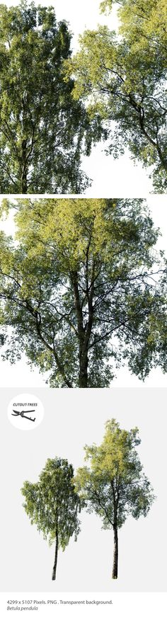 4299 x 5107 pixels. PNG with transparent background. Betula pendula Silver birch, Warty birch, East Asian white birch, or European white birch. Native to Europe and parts of Asia. Its range extends into Siberia, China and southwest Asia in the mountains of northern Turkey, the Caucasus and northern Iran. Introduced in North America. These were photographed in the shores of Loch Ness, Scotland.