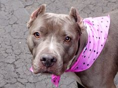 SAFE 6-11-2015  by Rebound Hounds --- RETURNED 05/06/15 after 4 days ALLERGIES --- SAFE 5-2-2015 --- Manhattan Center JADE – A1034161 FEMALE, GRAY / WHITE, PIT BULL MIX, 4 yrs STRAY – STRAY WAIT, NO HOLD Reason STRAY Intake condition EXAM REQ Intake Date 04/23/2015,