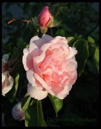 image of Duchesse de Brabant- Earth Kind Rose.