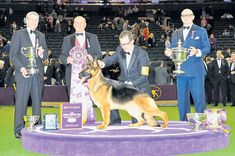 Best in show at Westminster Kennel Club show in New York, the finals of which were held in Madison Square Garden, was the US' 2015 number one dog all breeds, the German Shepherd Dog Gr Ch Lockenhaus' Rumor Has It v Kenlyn. 'Rumor' beat the Puli who was 2016 Top Dog in the herding group under Robert Smith, repeating her win at last year's show. This year she went one better at midnight on Tuesday, taking top spot at the 141st show under the former show chairman Tom Bradley.'Rumor' was…