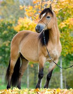 Belarusian Harness Horse stallion, Grohot. I believe Russian equine photographer, Valeria Korotlevich, breeds these horses and that Grohot is her personal horse