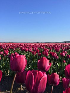 Tiptoeing Through The Tulips Amazing Photos, Cool Photos, Tulip Festival, Come Fly With Me, Make Her Smile, Replant, Flower Farm, Tulips, Fields
