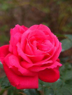 Rose Maria Callas バラ マリアカラス   Rose Maria Callas バラ マリアカラス Hy…   Flickr