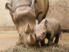 A black rhino mommy and her calf