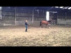 Habib's Sultania 2nd time lunging. //CNC Arabians//