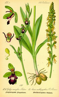 https://upload.wikimedia.org/wikipedia/commons/c/c5/Illustration_Ophrys_incectifera0.jpg