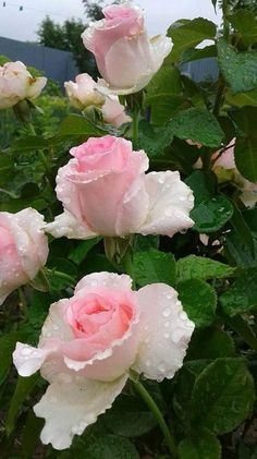 Roses are pink..