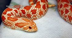 Extreme Red Hognose Snake