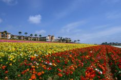 Visit the colorful Flower Fields in Carlsbad California. The Carlsbad Flower fields offer a spectacular display of Ranunculus flowers that bloom from early March to early May. Find Property, Rental Property, Carlsbad Flower Fields, Real Estate School, Carlsbad California, Property Management, Renting A House, San Diego, Places To Visit