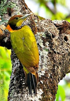 Greater Yellownape (Picus flavinucha)