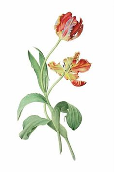 Presented by The American Society of Botanical Artists & The Horticultural Society of New York September 15 - November 24 Botanical Drawings, Botanical Prints, Tulip Drawing, Tulips Images, Parrot Tulips, Flower Pictures, Vintage Flowers, Watercolor Flowers, Flower Art