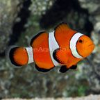 Ocellaris Clownfish - but everyone likes to call him Nemo. He likes to hang out by the bubbler near the top.