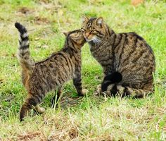 The Scottish Wildcat - One of the World's Most Endangered Animals