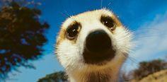 Erdmännchen sind ebenso neugierig wie scheu. Die kleinen Raubtiere gehören zur Familie der Schleichkatzen und leben in den Savannen des südlichen Afrika, wo sie sich Erdhöhlen bauen – Diese Karte hier online kaufen: http://bkurl.de/pkshop-211085 Art.-Nr.: 211085 Höhlenbewohner | Foto: © Mattias Klum | Text: Rolf Bökemeier
