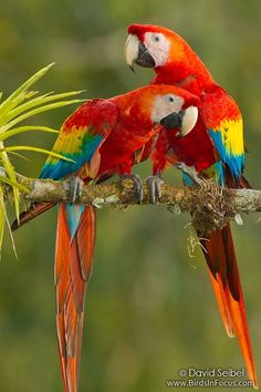 Cherry a Blue…free flight macaw blue and gold macaw with Green-w …. Pretty Birds, Beautiful Birds, Animals Beautiful, Colorful Parrots, Colorful Birds, Kinds Of Birds, All Birds, Tropical Birds, Exotic Birds