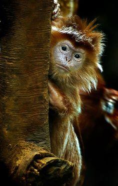 Langur Monkey by jodie