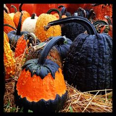 black pumpkins how cool Fall Pumpkins, Halloween Pumpkins, Fall Halloween, Happy Halloween, Black Pumpkin, Pumpkin Art, Pumpkin Varieties, Garden Works, Weird Plants