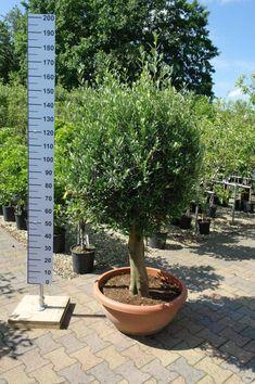 De prachtigste olijfbomen bij goedkopeolijfbomen.nl Plants, Plant, Planets