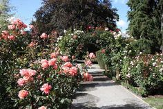 Top 10 Gardens to Visit for Spring Flowers: Parnell Rose Garden - A small but very special spot in downtown Auckland, New Zealand, the Parnell Rose Garden will charm you. Internationally acclaimed rose growers have come together to plant and nurture over 4500 rose bushes of all different colors and varieties. The park is frills-free—the flowers are the only decoration needed. The peak for these beauties is in New Zealand's spring, (October), but they are lovely to behold any time of year.