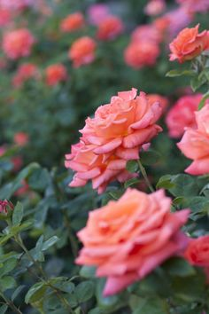 Walk amongthousandsof roses at the Gardens of the American Rose Center in Shreveport. Peak bloom time ismid-April to late-May, then mid-September to mid-October.  10 fascinating things you didn't know about roses»