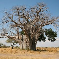 Adventures for Anyone: It's The Father of all Safari Adventures.Selous in Tanzania Le Baobab, Baobab Tree, Peaceful Backgrounds, Succulent Tree, Desert Trees, Socotra, Tanzania Safari, Safari Adventure, Tree Carving