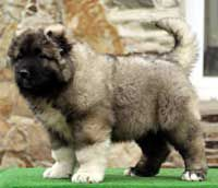 Caucasian Shepherd Dog, Central Asia Shepherd Dog DAUR-DON