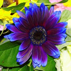 Purple + Orange Petals in Water Purple/Blue Gerbera Daisy love the colors pretty floral set up Exotic Flowers, Amazing Flowers, My Flower, Purple Flowers, Beautiful Flowers, Red Sunflowers, Daisy Flowers, Gerber Daisies, Gras