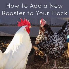 Linn Acres Farm: How to Integrate a New Rooster Into Your Flock