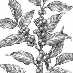 Coffee Plant clipart botanical illustration - pin to your gallery. Explore what was found for the coffee plant clipart botanical illustration Illustration Pen And Ink, Coffee Illustration, Plant Illustration, Ink Illustrations, Botanical Illustration, Coffee Drawing, Coffee Painting, Coffee Flower, Coffee Infographic