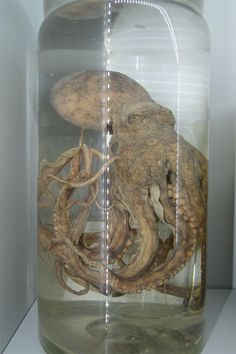 Inspiration: Preserved Octopus - Philly's Academy of Natural Sciences Octopus, Curiosity Shop, Ap Art, Kraken, Skull And Bones, Weird And Wonderful, History Museum, Oeuvre D'art, Natural History