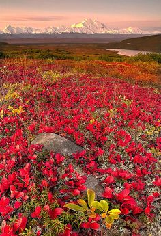 Fall in Denali National Park, Alaska. Denali National Park and Preserve encompasses 6 million acres of Alaska's interior wilderness. All Nature, Amazing Nature, Beautiful World, Beautiful Places, Beautiful Gorgeous, Alaska Travel, Alaska Usa, Denali Alaska, Alaska Trip