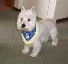 West Highland Terrier Proper Haircut - Bing Images