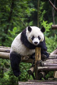 Giant Panda 大熊貓 by olvwu | 莫方 on Flickr.